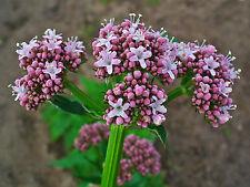 40 Semi di Valeriana Officinalis * VALERIANA OFFICINALIS seeds * semillas