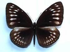 EUPLOEA LEUCOSTICTOS SSP from MUNA - unmounted butterfly FEMALE