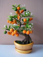 5Pcs Bonsai Thai Orange Bonsai Imported Seeds Good Growing Indian Climate Seeds