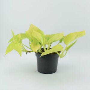 Epipremnum Golden Neon 12cm (indoor plant)