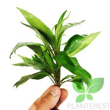 Hygrophila Angustifolia Bundle Live Aquarium Stem Plant Buy1 Get1 50% Off