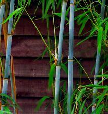 Fargesia papyrifera (Borinda papyrifera) Very rare blue bamboo - 10 Fresh seeds