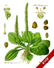 PLANTAIN MEDICINAL HERB PLANT ILLUSTRATION PAINTING ART REAL CANVAS PRINT