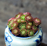 Succulent live Plants Prometheum chrysanthum rose Rare Easy Grow Potted Flower