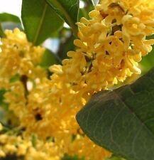 Golden Sweet Olive - Osmanthus fragrans 5 seeds fragrant CombSH K31