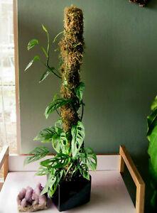 Moss pole the real McCoy 80 cm