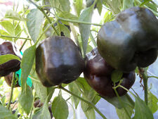 Premium Heirloom Chilhuacle Negro Pepper Seeds-W 091