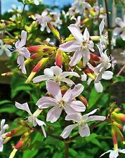 50 White Rock Soapwort Saponaria Vaccaria Alba Flower Seeds + Gift & Comb S/H