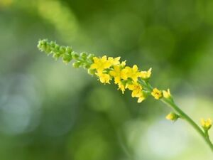 Agrimony - Agrimonia eupatoria - 50 Seeds - Wildflower