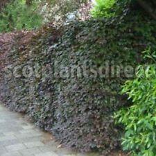 Semi-evergreen Neutral Shrubs & Hedges