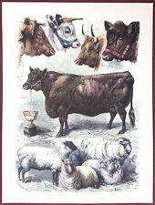 CATTLE BULLS & SHEEP - original 1860's hand painted engraving