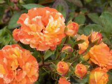 Beetrose,Rose Papagena ® 4 Liter Topf besonderes Farbspiel