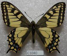 Papilio machaon kamchadallis 1 M Kamchatka C1040