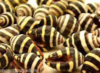 *ONE* Bee Hive Seashell  QTY1 Shell Healing Reiki Transformation Change Grid
