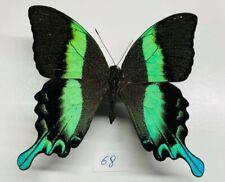 Papilionidae Papilio blumei mâle a1 mounted sulawesi