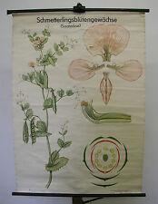 schönes altes Wandbild Schmetterlingsblütengewächse Erbse 83x115cm vintage~1964