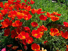 Californian Poppy 'Red Chief'  Seeds Perennial Long Flowering Colour Cut Flower