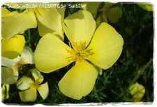 Eschscholzia caespitosa 'Tufted Poppy' 100+ SEEDS