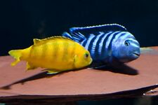 Wet Pets Solihull have stunning F1 Malawi Juvies for sale some very nice fish.