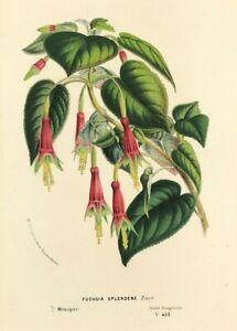 Print FUCHSIA SPLENDENS Louis Van Houtte 1850 original Antique Botanical