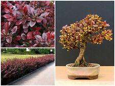 10 Samen Berberis thunbergii atropurpurea, Berberitze rot, bonsai Seeds, G