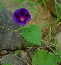 Purple Morning Glory 1-Dormant root fast growing Vine/Ground cover vine
