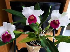 Lc Melody Fair 'Carol' Cattleya Orchid - Fragrant blooms in drab days of winter