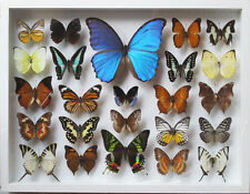 LUXURY STYLE REAL MIX BEAUTIFUL BUTTERFLY IN FRAME DISPLAY INSECT TAXIDERMY