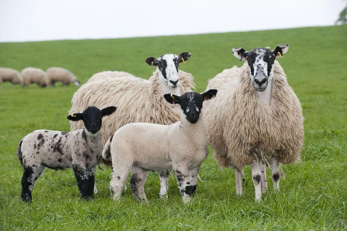 Dorset sheep halters