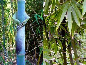 Bambusa tulda (Giant Bengal Bamboo) 10 Plant Seeds •RARE Outdoor Garden Large UK
