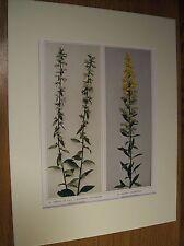 Vintage 1921 Wildflower Art Print Matted - White Goldenrod; Downy Goldenrod