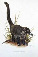 Impression Affiche Histoire Naturelle le Coati brun Nasua narica