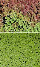 Schwimmpflanzen Set Deko Dekoration für den Gartenteich Teichdeko Zierpflanzen