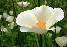 Poppy- White Linen- 100 Seeds -