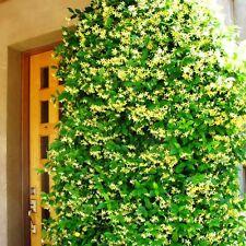 2 Trachelospermum jasminoides Gelb Intensiver Jasmin Blütenduft winterhart .TRKY