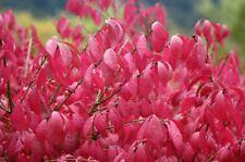 "Burning Bush Plants (Euonymus Alatus) 4 - 8"" tall, Quantity 5"