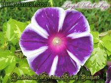 Purple Velvet Fuji Japanese Morning Glory 6 Seeds