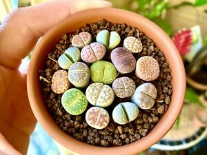 Variety Packs Of 5 Randomly Selected 1-year-old Baby Lithops Live Plant