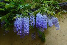 Blue Wisteria Seed Vine Fragrant Pendant Flowers Deciduous Frost Tolerant
