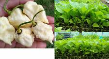 Carolina Reaper White Chilli Seedlings World's Hottest White Chili Variety 2 Pcs