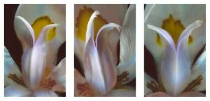 Fortnight Lily African Iris Composition Fine Art Prints Floral Garden Close-up