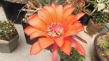 Kakteen Sukkulenten  Echinopsis  spec.  Hybriede  4
