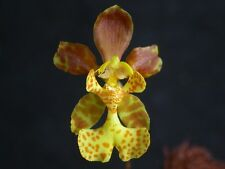 VERY RARE MINIATURE ONCIDIUM LIMMINGHEI ORCHID BRAZIL SPECIES MINI PSYCHOPSIS
