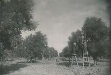 ARGENTINE c. 1952 - Cultures d'Oliviers à Mendoza Récolte des Olives  - P735