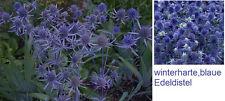Duftet angenehm & leuchtet immerblau : Blaue Edel-Distel  * winterhart * Saatgut