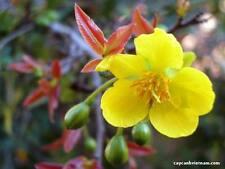 1 cay mai vang (Ochna integerrima) vietnam 4 years old pre bonsai