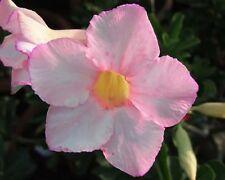 5 seeds Adenium,Light Pink,Lucky, Arabicum, Desert Rose