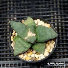 Ariocarpus * Cauliflower hybrids * Selected & Rare cactus succulent plant