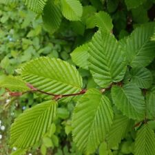 European Hornbeam - Carpinus Betulus - 50 seeds - Bonsai Tree - Hedging