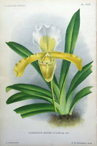 ORCHID CYPRIDEDIUM INSIGNE Linden Antique Botanical Vintage Flower Print c1890